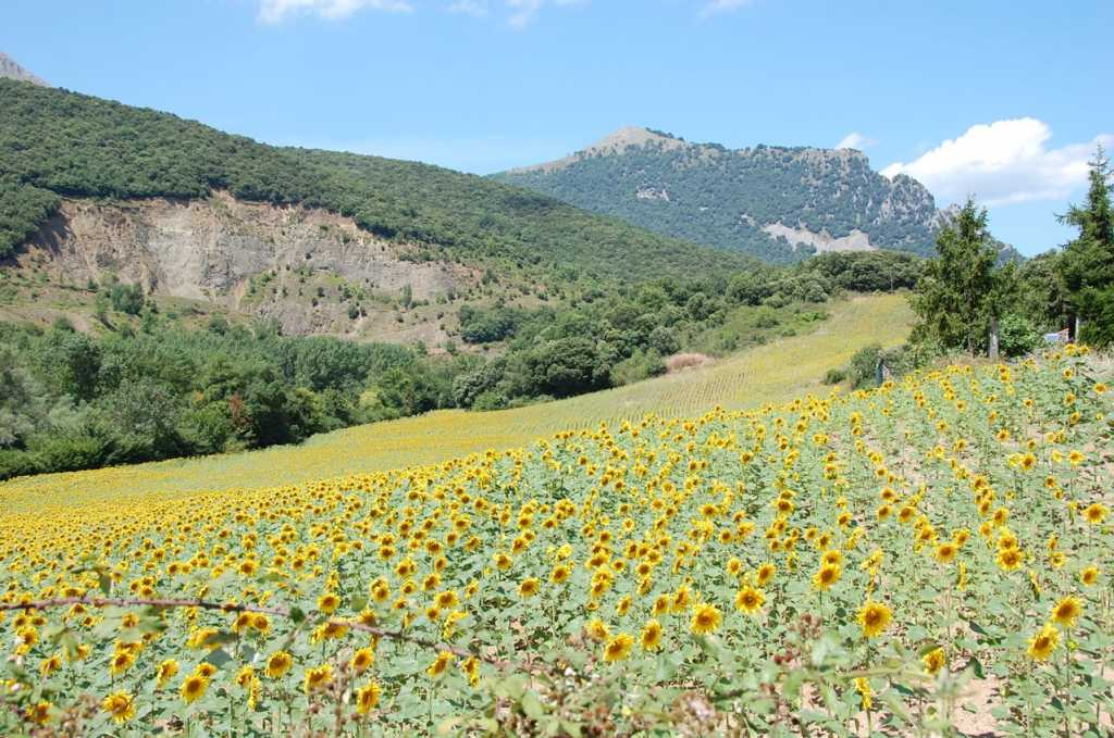 girasoles