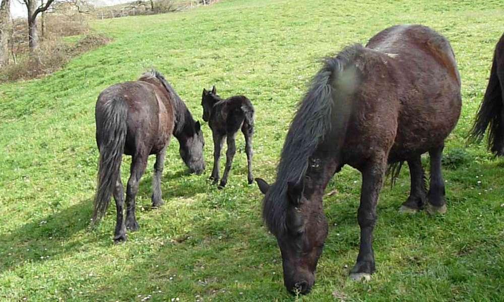 Horses - pottoka